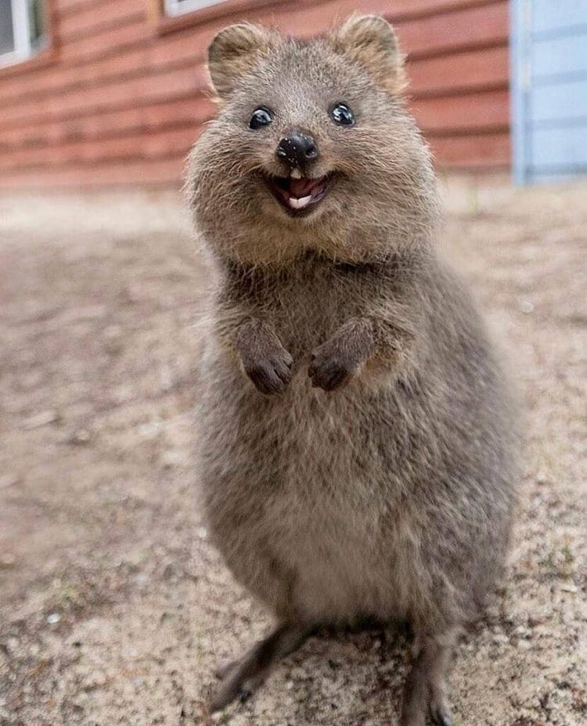 Quokka - The Happiest Animal On Earth, With Photo Evidence